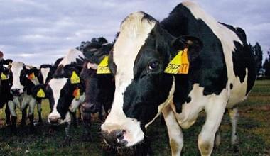 ▲美國肉牛75%是以動物屍體來加強營養,我們吃的牛,也正吃著動物屍體研磨成的飼料。