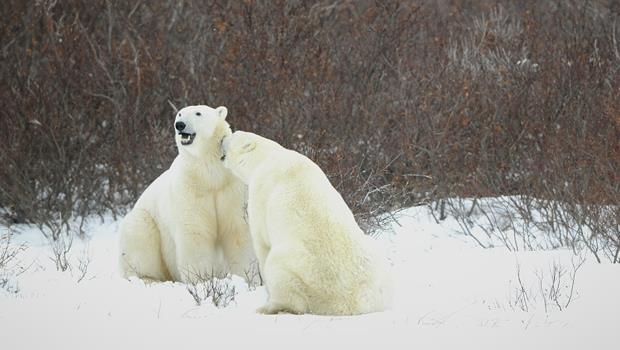 北極熊不會沒家了》2014年夏天北極冰蓋不但沒消失,覆蓋面積還成長!