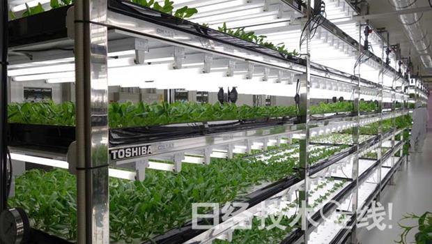 有圖!原來「無塵室農場」長這樣....東芝用製造半導體的流程「種菜」!