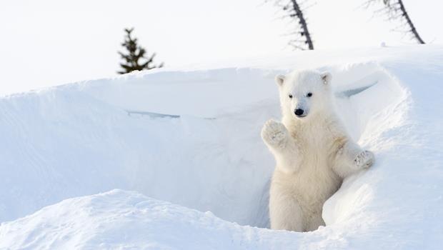 北極熊有救了?「不破壞臭氧層」的冷媒專利 大金免費開放使用