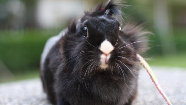 養兔6大迷思》兔子不能喝水,竟是一個商人維持「迷你兔」的殘忍騙局