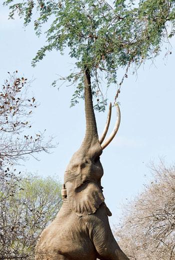 波斯威用後腿站立去取食白相思樹的果莢;據知,馬納潭只有六頭大象學會這一招。