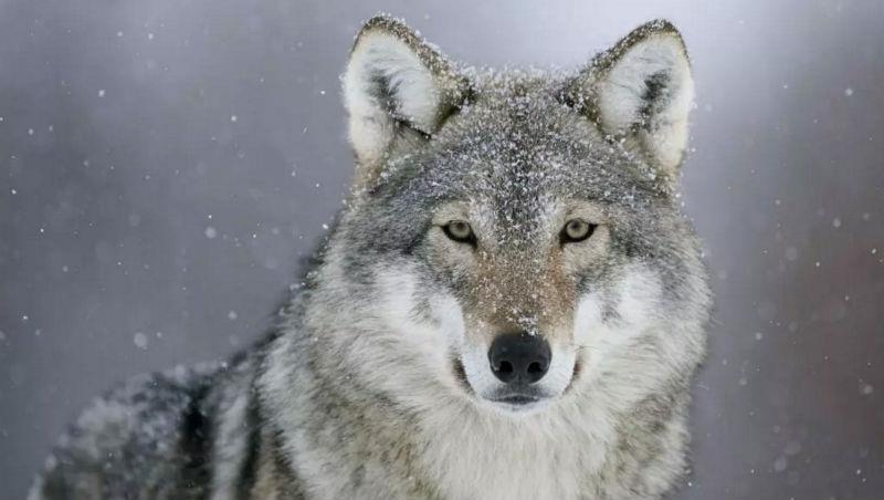 成功一定要具備狼性嗎?我沒有狼性是否注定失敗?
