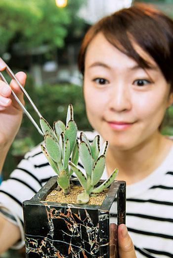 張翠萍說多肉葉片會正常代謝老化,枯萎後摘除即可,萬一莖部發黑變軟,代表遭受真菌感染,須切除腐爛處避免擴散。