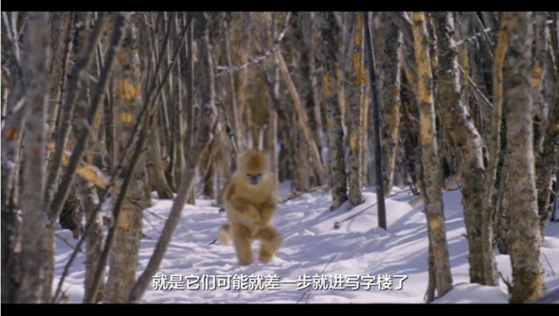 中國第一部動物劇情片!》「地球上最好的五個攝影師」花了三年,終於拍到在雪地跟人一樣走路的金絲猴...