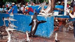 海獅、鵜鶘與魚販共生