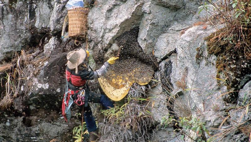 攀至採蜜位置後,又有蜂群飛回,小李以草枝輕輕撥掉欲採區域的蜜蜂,這次只採五分之一的蜜,讓蜜蜂有足夠糧食存活。