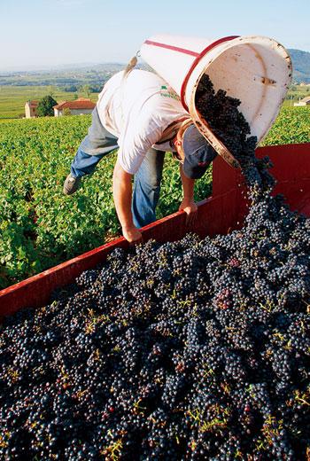薄酒萊產區多採用傳統引枝法,大部分仍須人工採收。