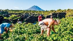 蓋房子給葡萄住!皮庫島火山下,復興五百年酒文化