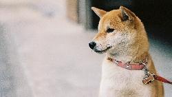 「柴柴」萌翻,虛擬貨幣也瘋狂!「狗狗幣」市值飆到6千億,起因是一張「柴犬表情包」