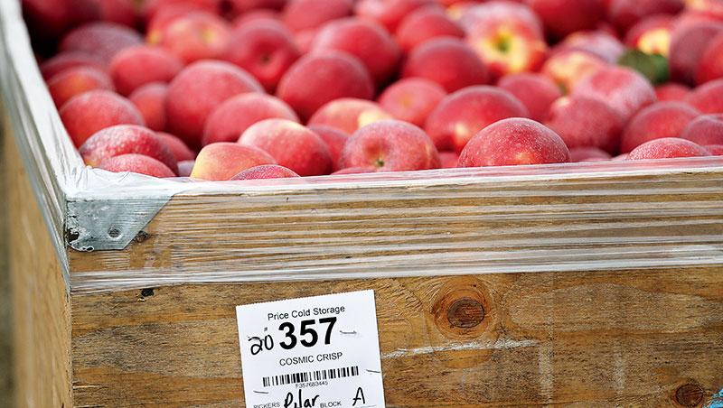 華盛頓州公、私部門力拱星際脆,除了請退役太空人擔綱品牌大使,1,500名果農競相投入栽植,「促成史上最大規模的新品種上市。」