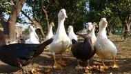 10萬隻「寧波鴨」,將出征巴基斯坦滅蝗蟲