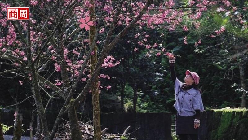 發現花東賞櫻秘境
