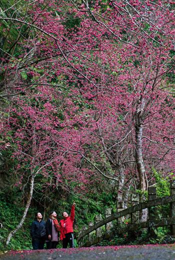 金針山上的青山農場擁有規畫完善的賞花步道,很適合呼朋引伴來賞櫻。