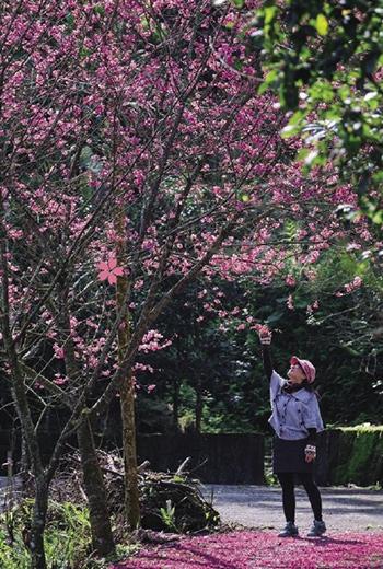最先盛開的台灣山櫻,色澤嫣紅,襯上綠樹更顯嬌媚。