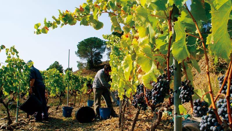 在普里奧拉即使是採用現代籬笆式種植的年輕幼樹也能釀成濃縮風味的紅酒。