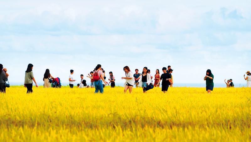 遊客們恣意踏入已結實纍纍的稻田裡拍照,成了花東觀光另一種人為破壞的災難。