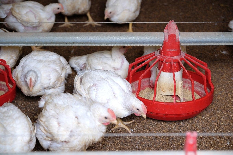 國產白肉雞新鮮未反覆解凍品質好,但價格比進口雞肉高
