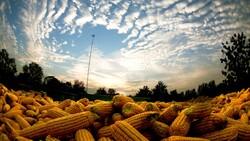 中國糧食缺口,5年將達1.3億噸…堂堂農產大國,為何陷入缺糧危機?