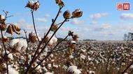 限中令》半導體後,美國再禁「新疆棉花」?若成真,將衝擊全球時尚業
