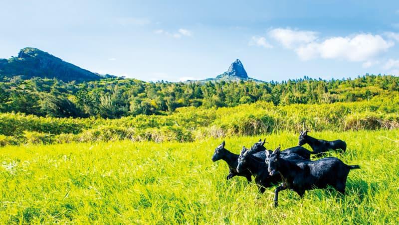 奔馳在屏東大尖山的草原,在台有300年飼養史的台灣黑山羊,將以精品肉之姿重返饕客餐桌。