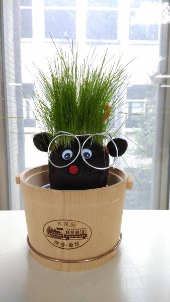 草頭寶寶盆栽