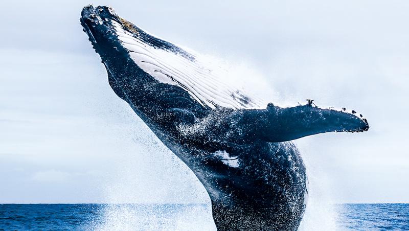 在東加群島捕捉到的鯨魚躍起瞬間,當下煩惱彷彿跟著泡沫一同散去。