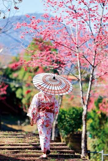 這裡不是東京,是新竹五峰鄉和平部落山櫻花盛開場景。