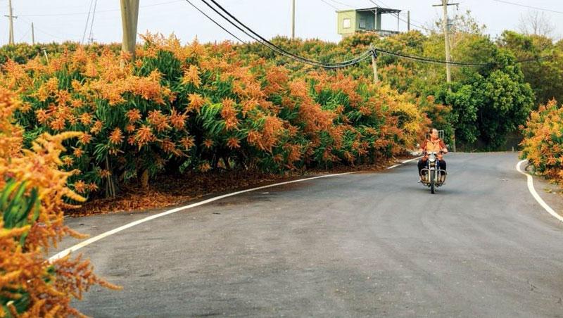 3月,南化1,500公頃的芒果花綻放。該區靠共選共計獲日韓市場青睞,分級包裝人員在產季有時3個月也休不了假。南化農民在這波貿易變局下更能輕鬆應戰。