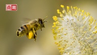 安潔莉娜裘莉,讓蜜蜂爬滿全身!「拯救蜜蜂」為什麼此刻又急又重要?