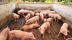 豬舍刺鼻味不見了,還能發電!大同獲46億標案,改建台糖7座現代養豬場