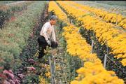 小黃菊盛開,對花農林進停來說,朵朵都是賠錢貨。