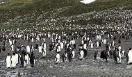 我後面是三萬隻國王企鵝