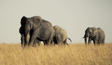 肯亞Amboseli公園裡大象的眼淚
