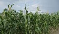 吃玉米不如投資玉米 真是這樣嗎?