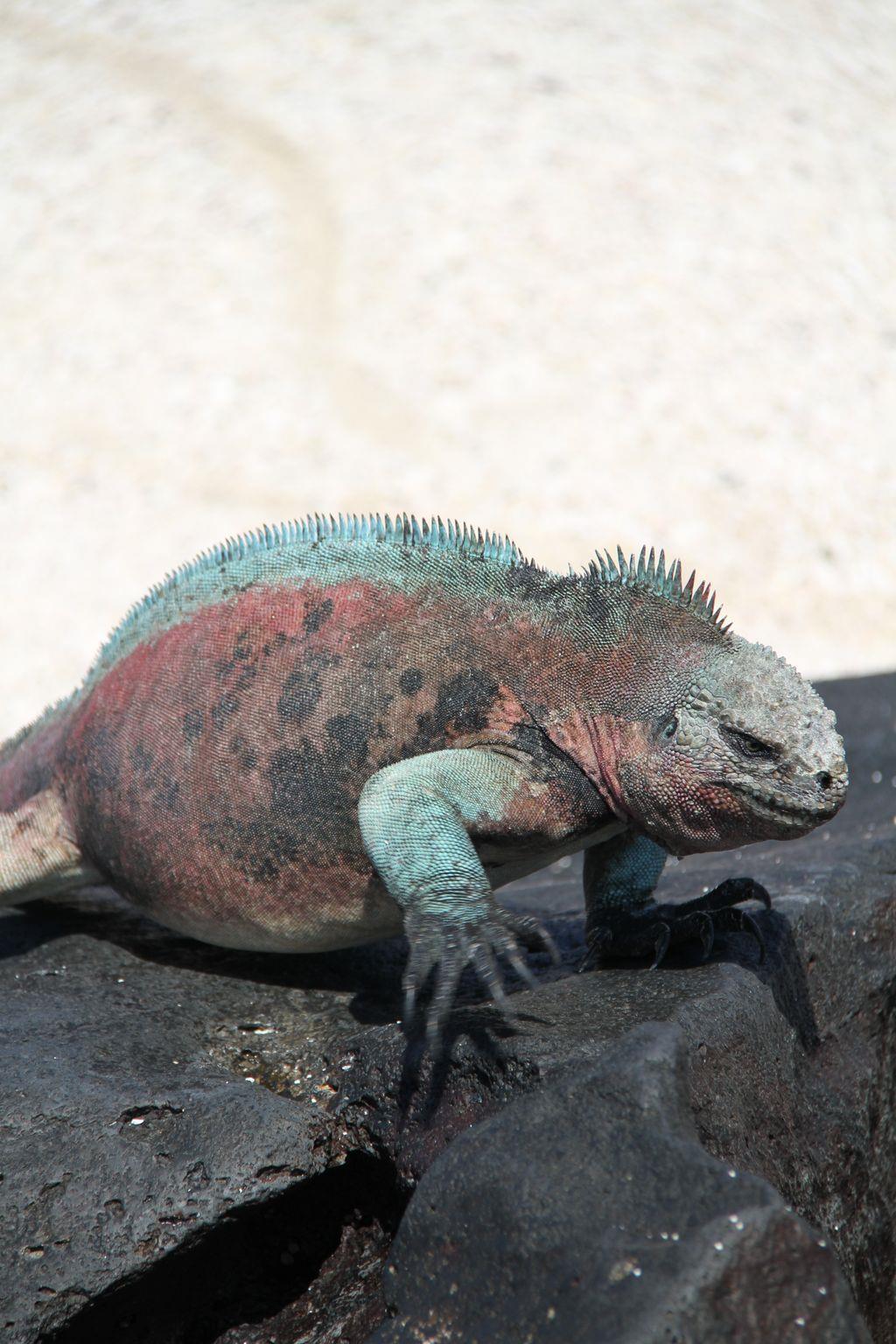 聖誕節海蜥蜴,其實就是海蜥蜴,冬天的時候因為飲食變化而變成的顏色