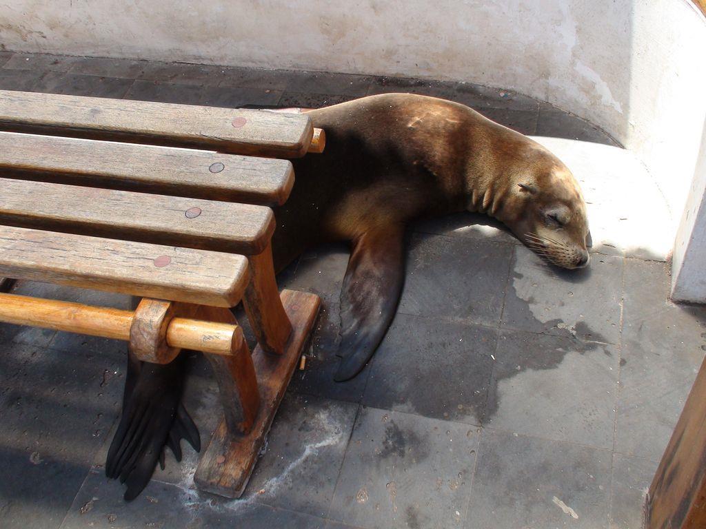 非常親人的海狗散播在城市各處