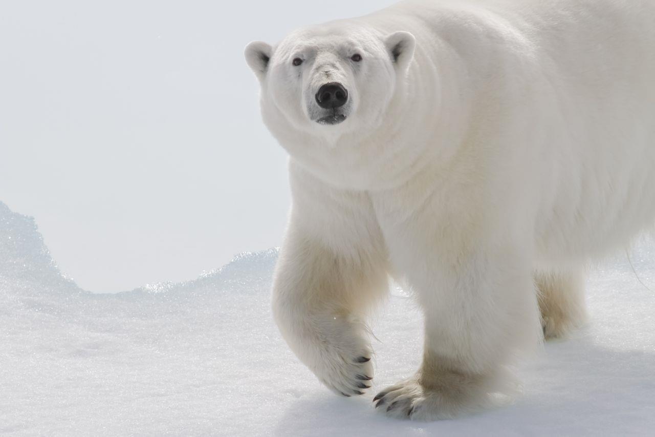 北極熊好可憐 是一種很容易引起一般人共鳴的議題