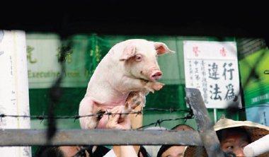 台美貿易暨投資架構協定(TIFA)3 月底復談,朝野憂心美豬進口議題恐重回談判桌。