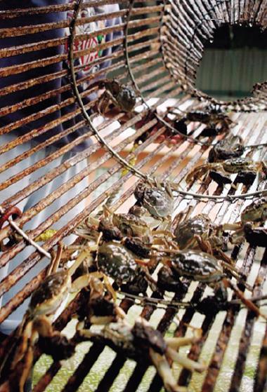 大閘蟹養殖熱潮帶來經濟與生態的兩難。