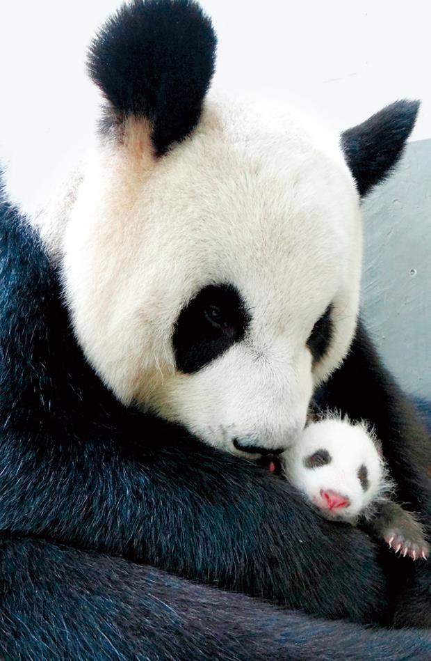在動物園和醫療團隊照料下,圓仔吃飽、睡得好,長成「小壯妞」,圓滾滾的模樣,超級吸睛。