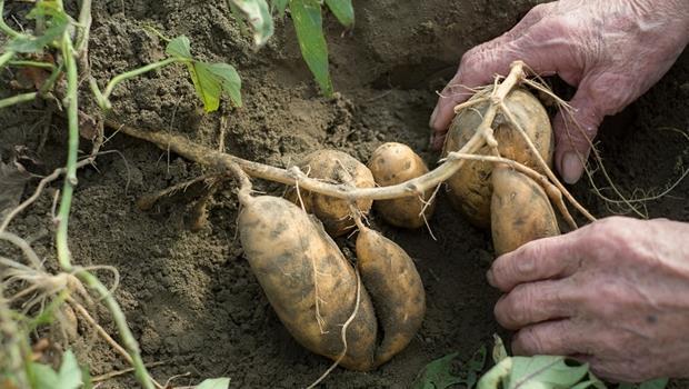 破除謠言!地瓜發芽、長黑斑 真的還能吃嗎?
