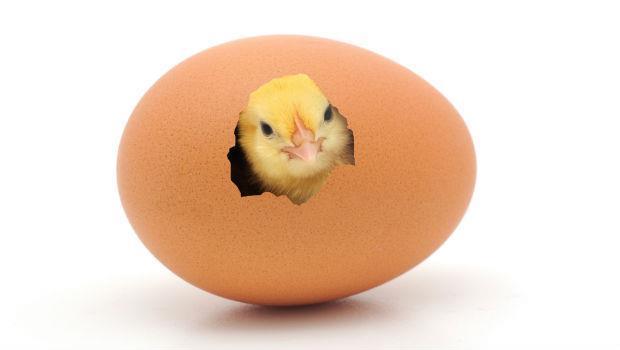 養雞只需35天,吃肉雞 = 吃激素,真的嗎?
