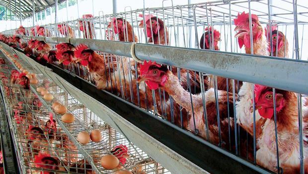 格子籠:約A4大小籠裡關2到4隻雞,窄小空間導致互相踩踏,多數雞一輩子不曾踏到地面