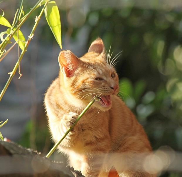 圓仔啃竹子超萌?貓咪也來參一腳