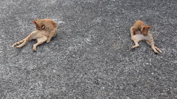 貓不但是瑜珈大師,還是最靈活的胖子