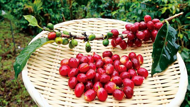 檳榔樹下的亞洲第一咖啡豆