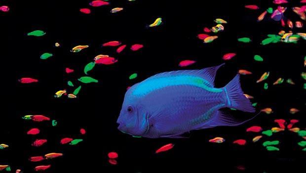 螢光魚問世逾十年,技術進展比法規更快。圖為芝林企業與中研院新研發的大型螢光魚。