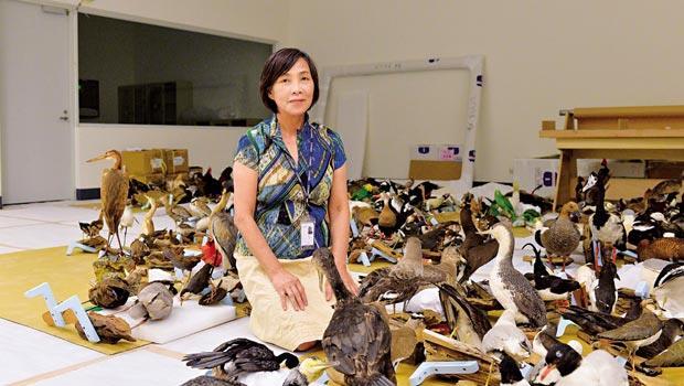 顧問陳瑞卿正在把禽鳥依據生態區分門別類,並調校現有的標本姿態與新組合隊形之間的協調感。