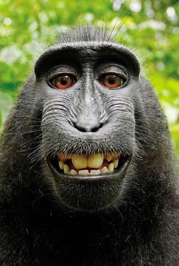 就是這張照片瘋傳全球,讓攝影師和維基百科對簿公堂!若圖中的猴子有權販售,牠會要錢還是香蕉?
